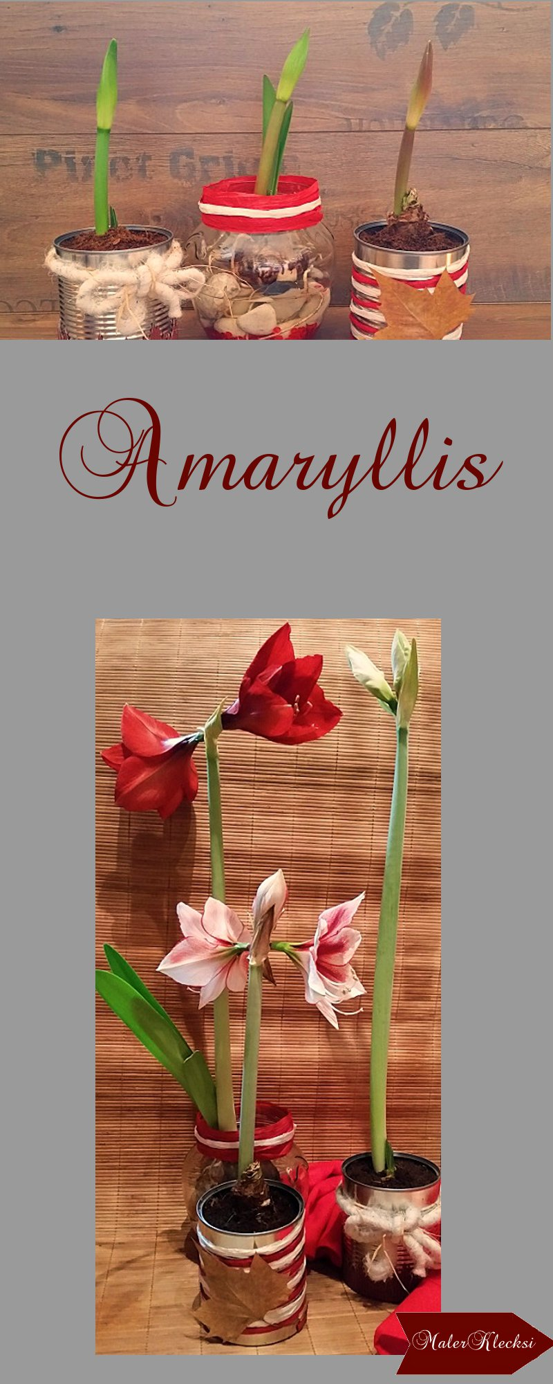 Amaryllis-Konservendosen-als-Blumentopf