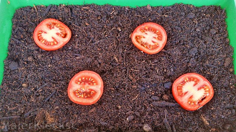 tomaten ziehen tomaten ziehen richtige pflege tomaten. Black Bedroom Furniture Sets. Home Design Ideas